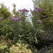 17 september 2016 Vernonia crinita 'Mammuth'